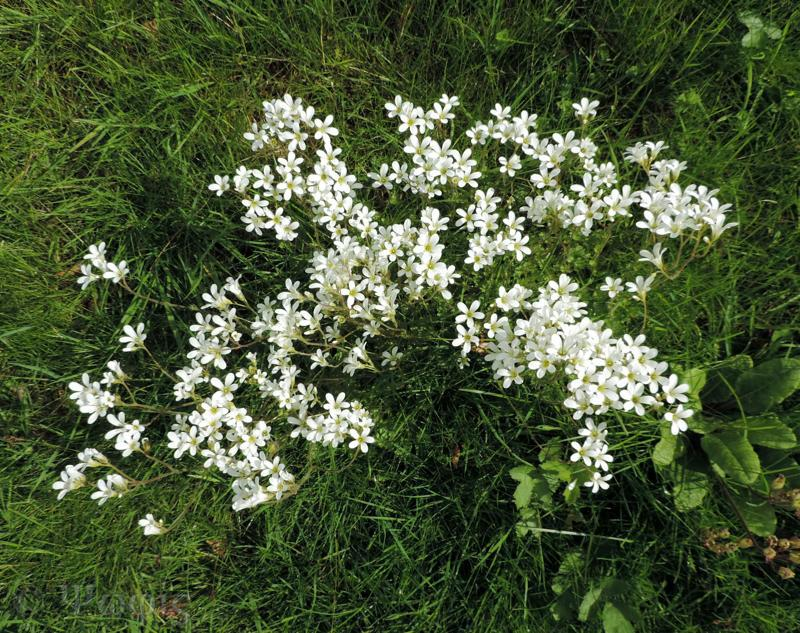 meadow saxifrage