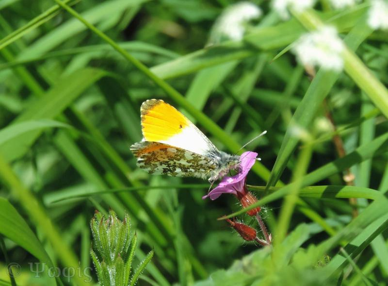 orange top,butterfly,Anthocharis cardamines