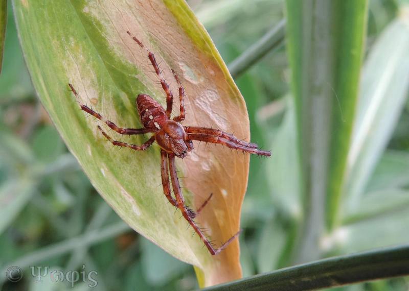garden spider,male garden spider,Araneus diadematus