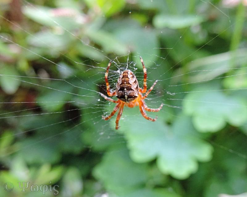 garden spider,orb web,markings,Araneus diadematus