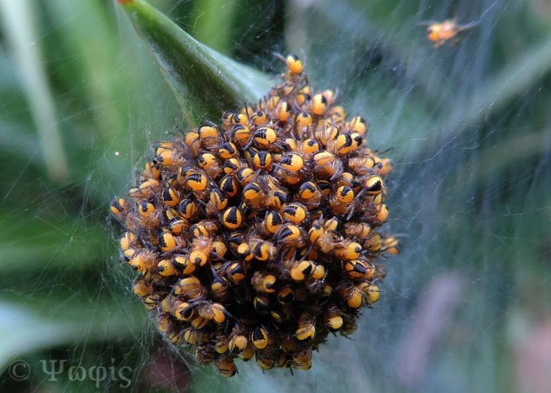 garden spider,spiderlings,ball,Araneus diadematus