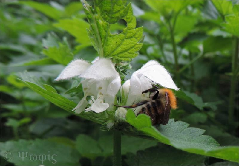 white deadnettle,bee,Lamium album