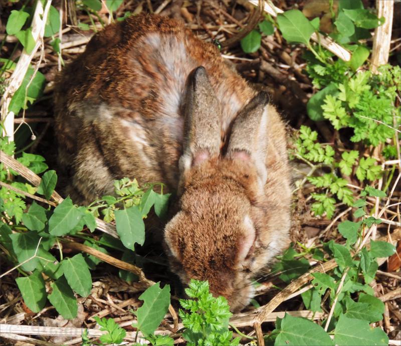 myxomatosis rabbit,rabbit