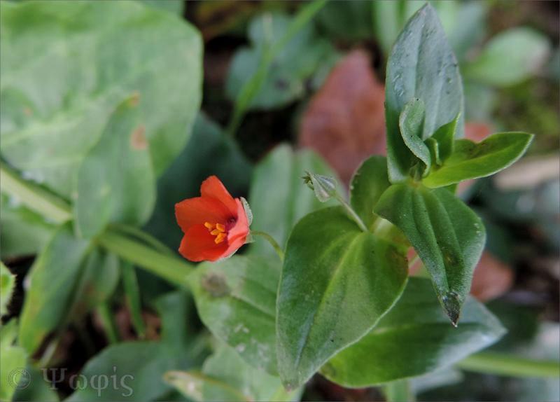 Scarlet pimpernel,Anagallis arvensis