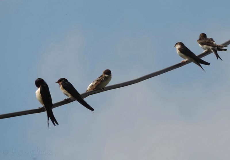 swallows,house martins