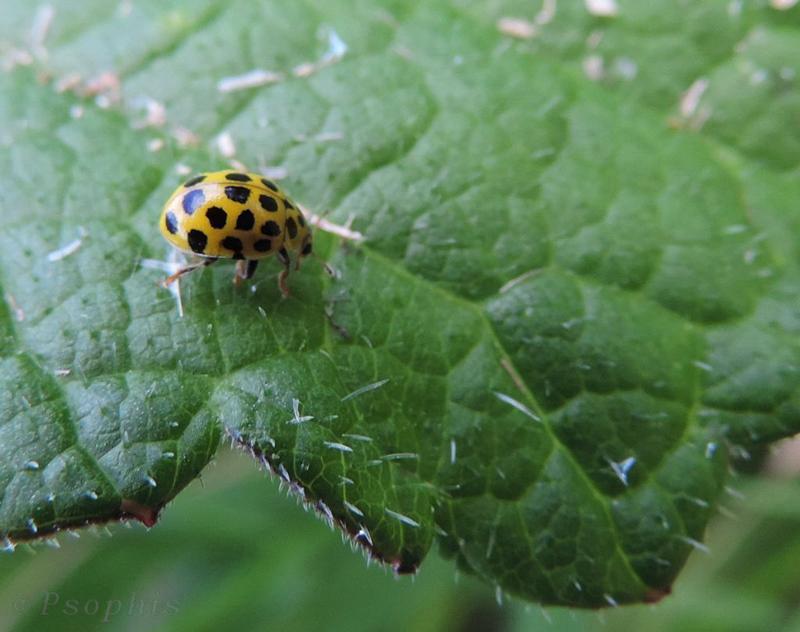 22spot yellow ladybird, Psyllobora vigintiduopunctata