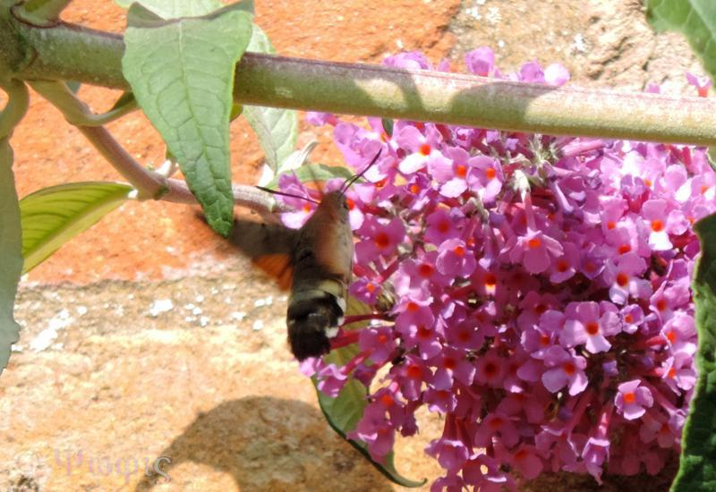 Hummingbird Hawk-moth,Macroglossum stellatarum
