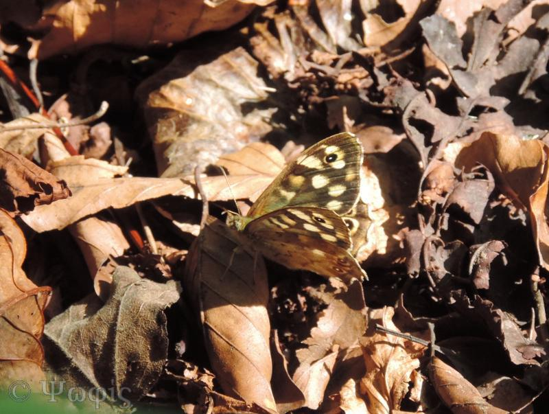 Speckled Wood butterfly,Pararge aegeria