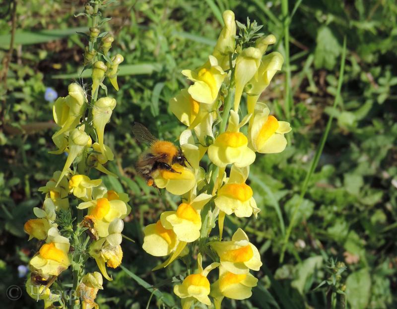 toadflax,tree bumblebee,Bombus hypnorum