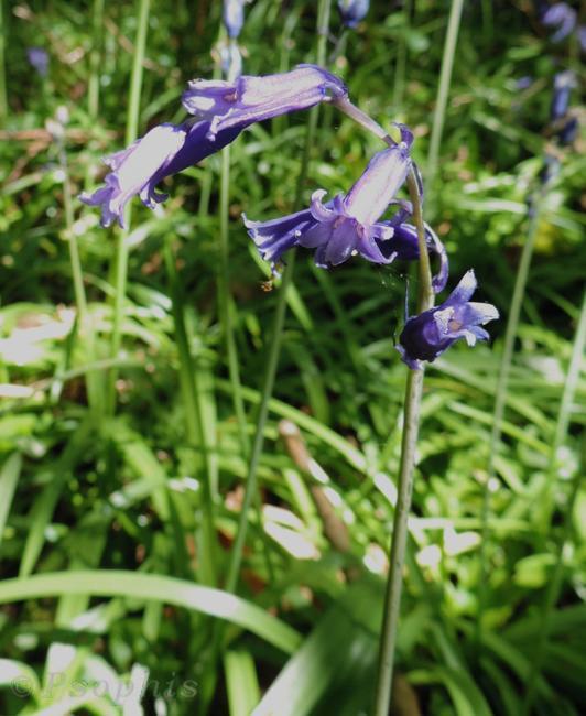 bluebell,Hyacinthoides non-scripta