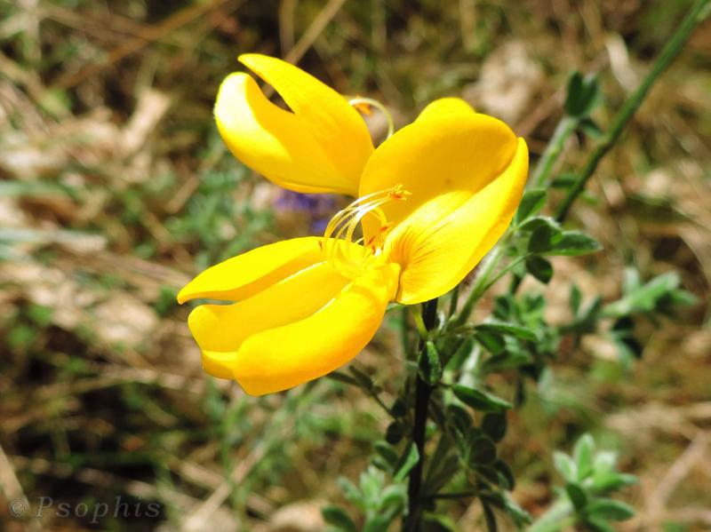 Broom,Cytisus scoparius