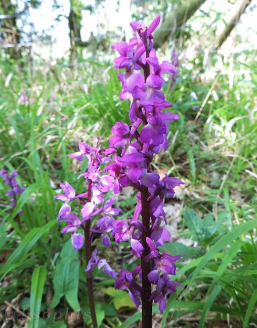 early purple orchid,Orchis mascula