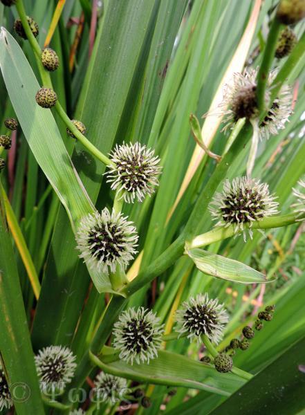 Branched Bur-reed,Sparganium erectum