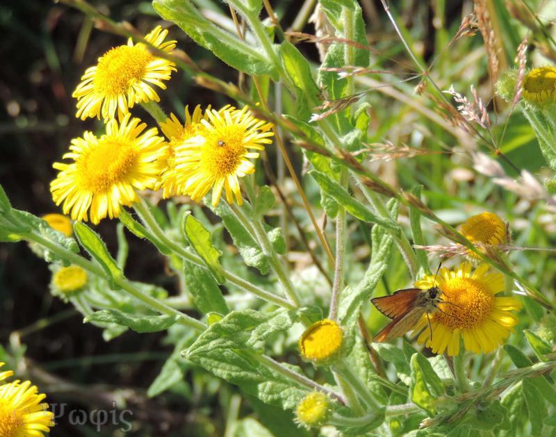 fleabane,butterfly,small skipper,Thymelicus sylvestris