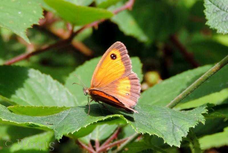 gatekeeper,butterfly
