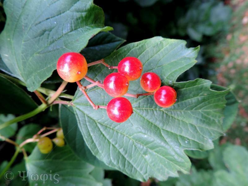 guelder rose,Viburnum opulus