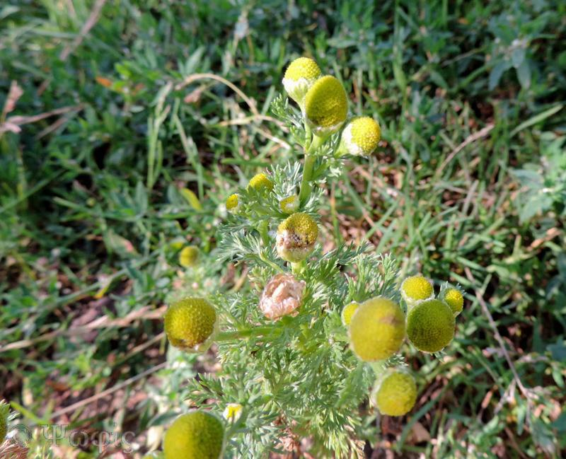 pineapple weed,Matricaria discoidea