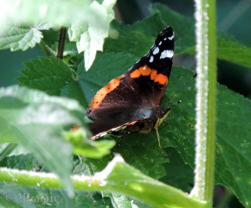 red admiral,butterfly,Vanessa atalanta