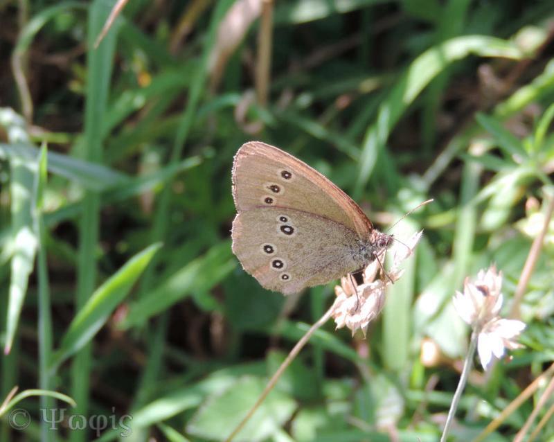 butterfly,Ringlet