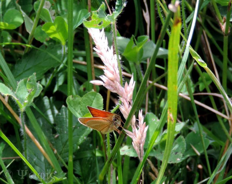 butterfly,small skipper,Thymelicus sylvestris