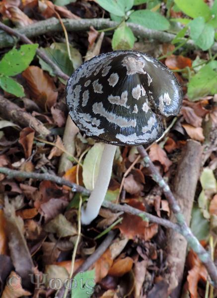 fungi,Coprinopsis picacea,Magpie inkcap