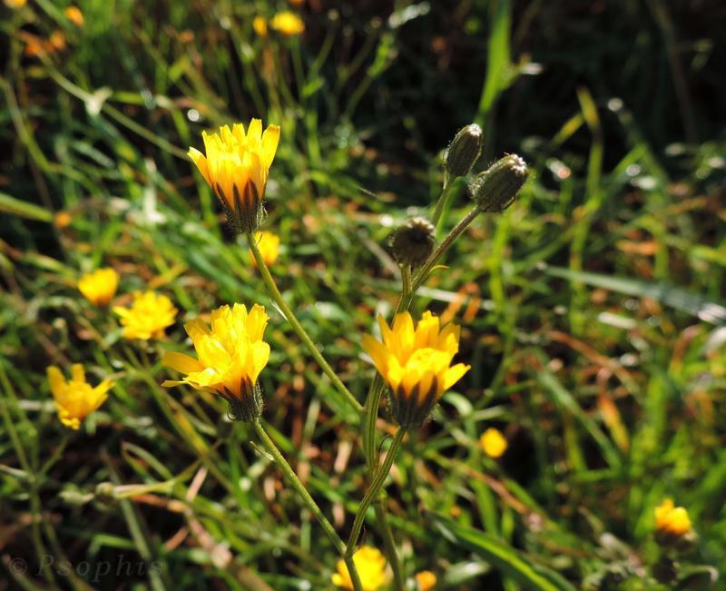 Nipplewort,Lapsana communis