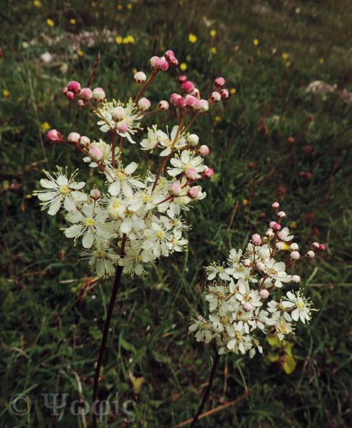 Dropwort,Filipendula vulgaris