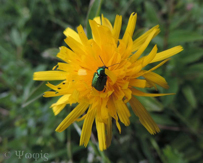 Green dock beetle,Gastrophysa viridis