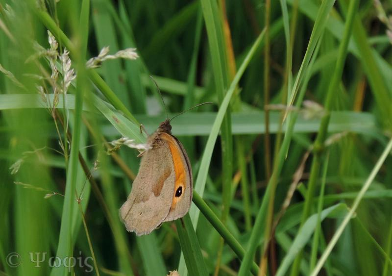Meadow brown butterfly,butterfly,Maniola jurtina
