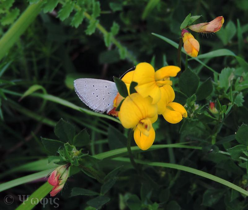 Small blue butterfly,butterfly,Cupido minimus