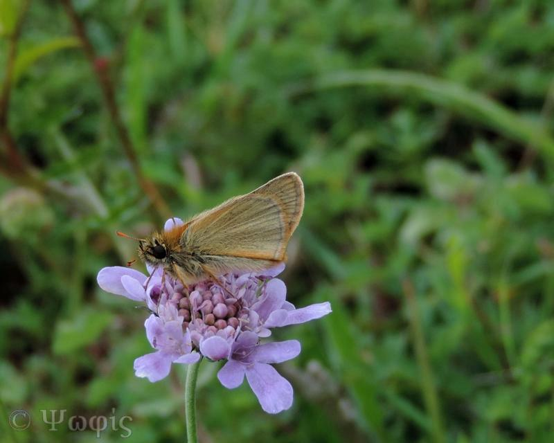 Small Skipper,Filipendula vulgaris