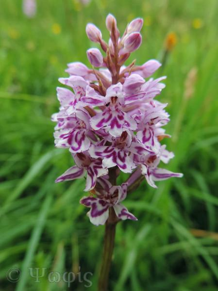 common spotted orchid,orchid