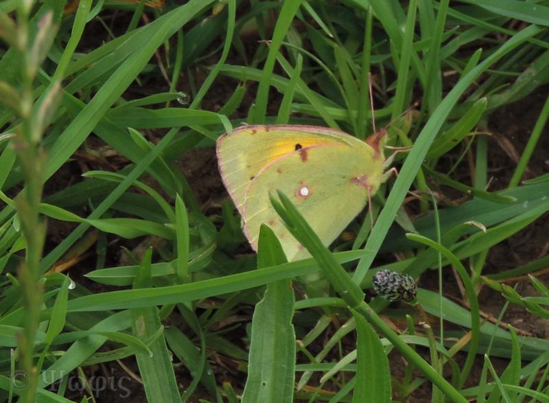 clouded yellow butterfly,butterfly