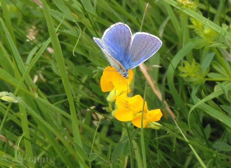common blue,butterfly