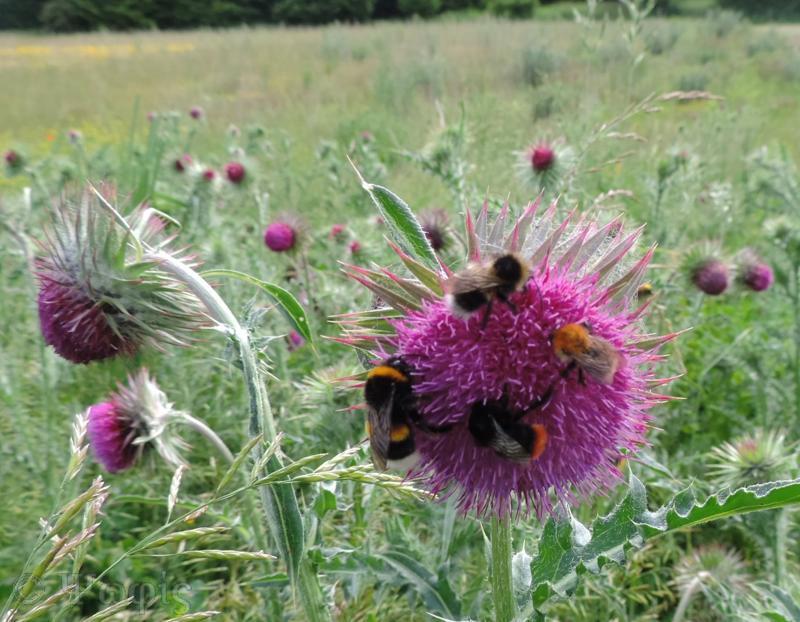 nodding thistle,bee