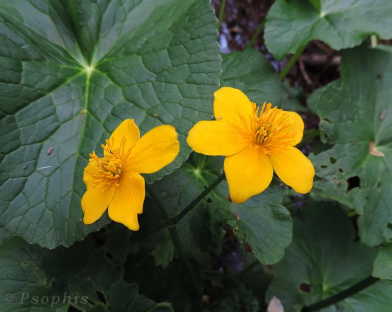 marsh marigold,Caltha palustris