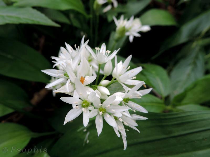 wild garlic,ramsons