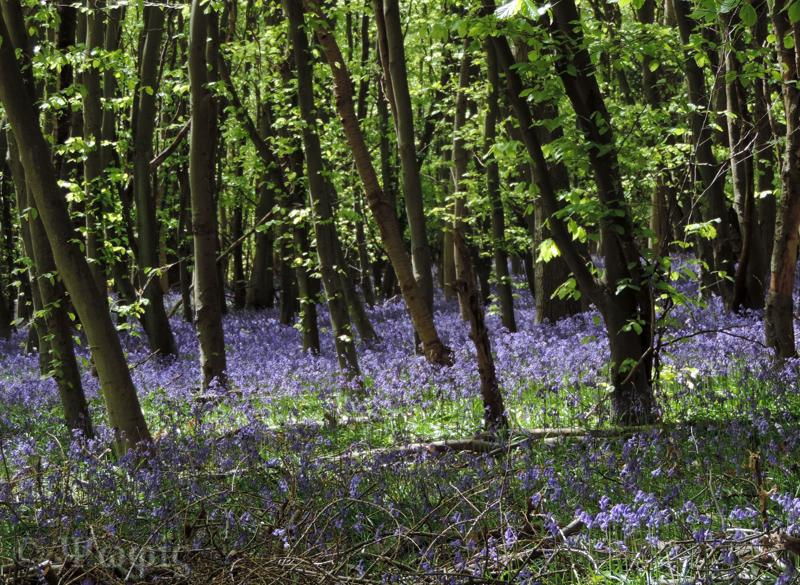 Adams Wood,bluebells