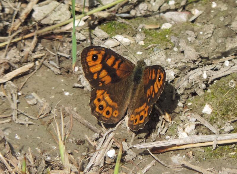 Wall butterfly,Lasiommata megera