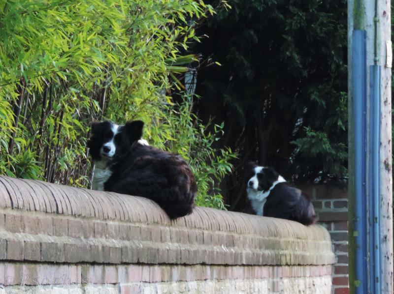 dogs,collies