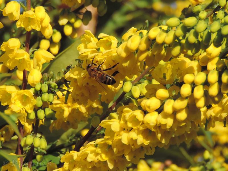 mahonia,honey bee