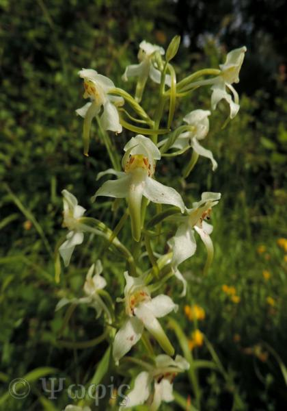 Great Butterfly Orchid,Platanthera chlorantha