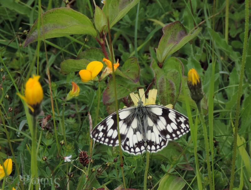 Marbled white,Melanargia galathea