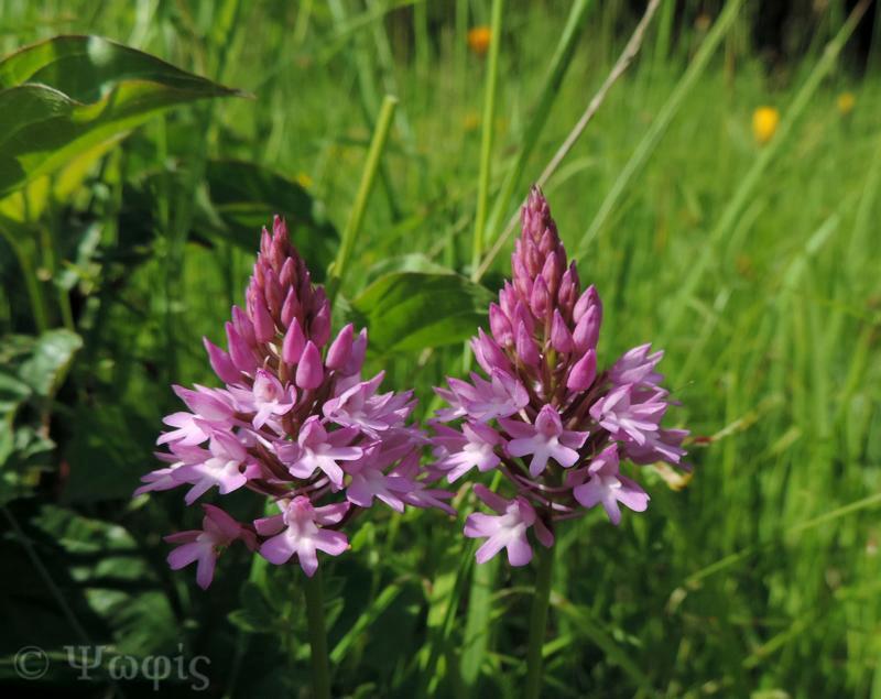 Pyramidal orchid,Anacamptis pyramdalis