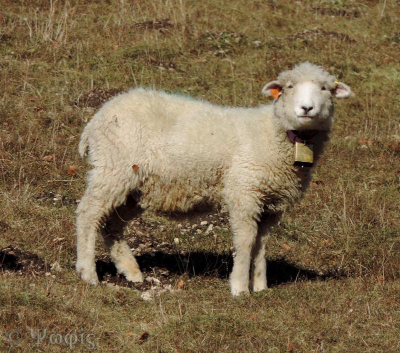 sheep bell